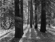 Forest Floor by Ansel Adams