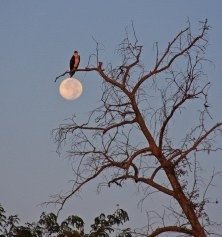 Osprey at Dawn, Full Moon, Cane Bayou - photo by Bob Fergeson